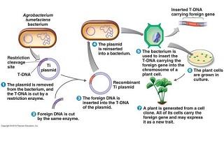 مراحل ایجاد تراریخته GMO