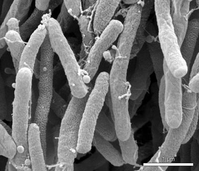 باکتری Xylella fastidiosa