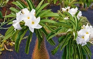 نخل ماداگاسکار